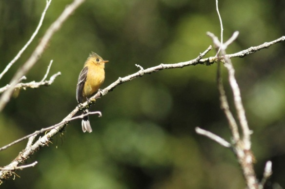 Tufted flycatcher, 27 March 2014