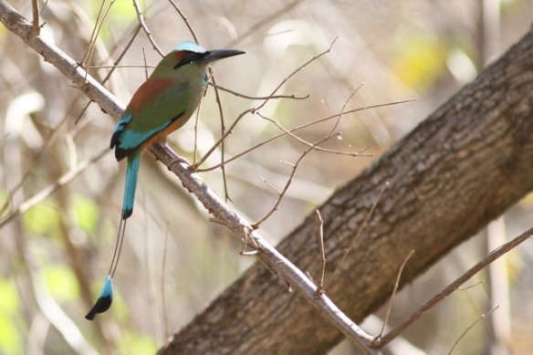 Turquoise-browed motmot, 23 March 2014