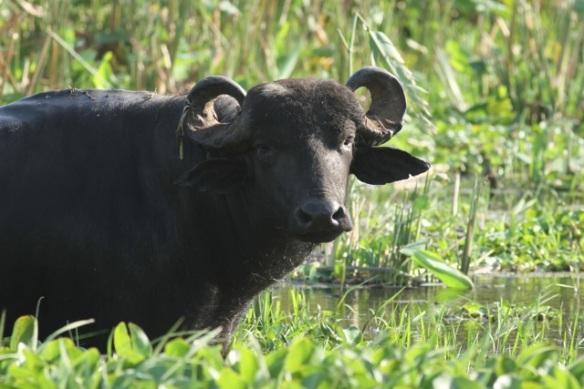 Water buffalo, 22 March 2014