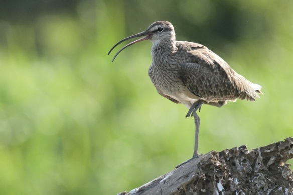 Whimbrel on tree trunk, 25 March 2014
