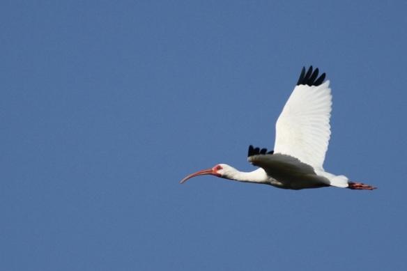 White ibis, 22 March 2014