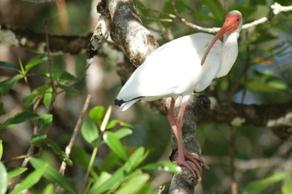 White ibis, 25 March 2014