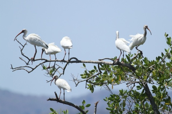 White ibises,  23 March 2014
