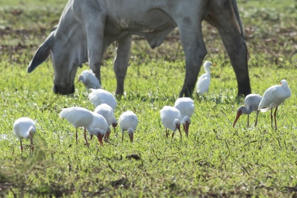 White ibises and cattle egrets, 22 March 2014