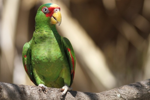 White-fronted parrot, 23 March 2014