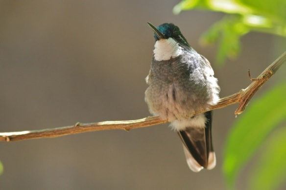 White-throated mountain-gem male, 27 March 2014