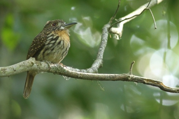 White-whiskered puffbird, 24 March 2014