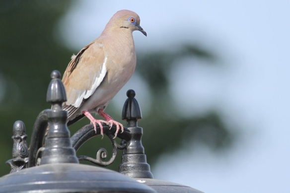 White-winged dove, 23 March 2014