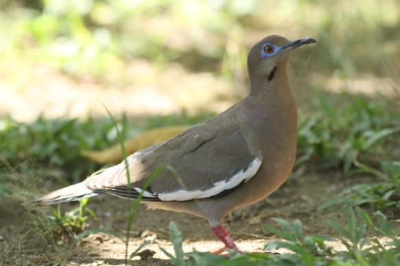 White-winged dove, 25 March 2014