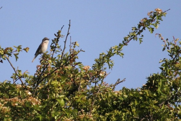 Whitethroat, 17 May 2014