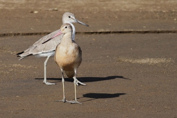 Willet and marbled godwit, 25 March 2014