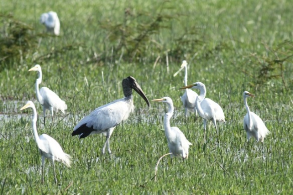 Wood stork amidst great egrets, 22 March 2013