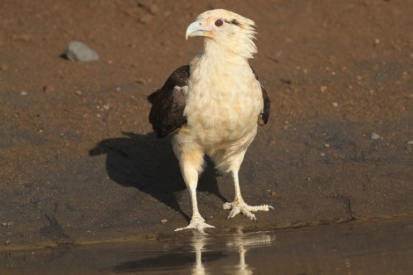 Yellow-headed caracara, 25 March 2014