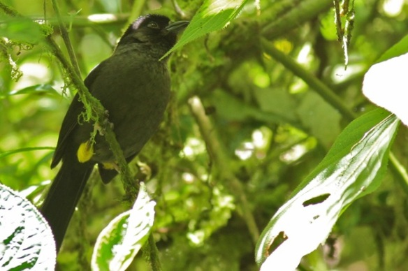 Yellow-thighed finch, 27 March 2014