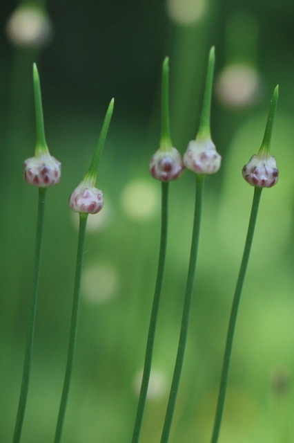 Allium flower buds, 9 June 2014