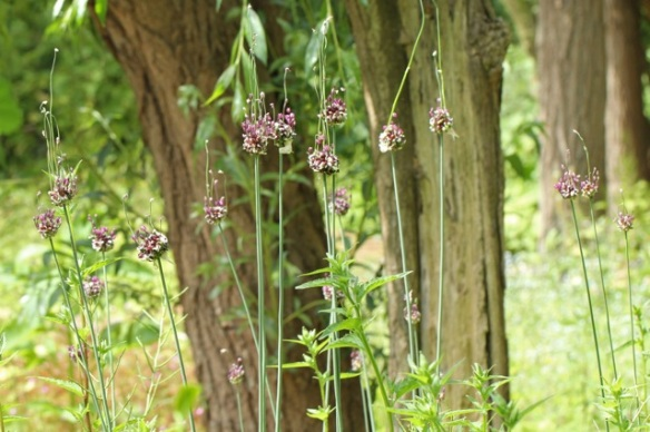 Allium flowers, 9 June 2014