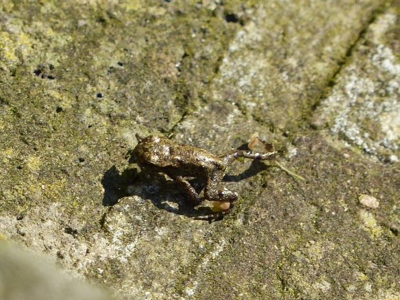 Baby common frog, June 2014