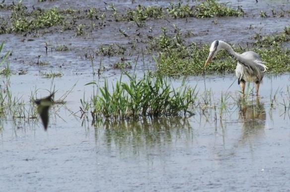 Barn swallow and grey heron, 1 June 2014