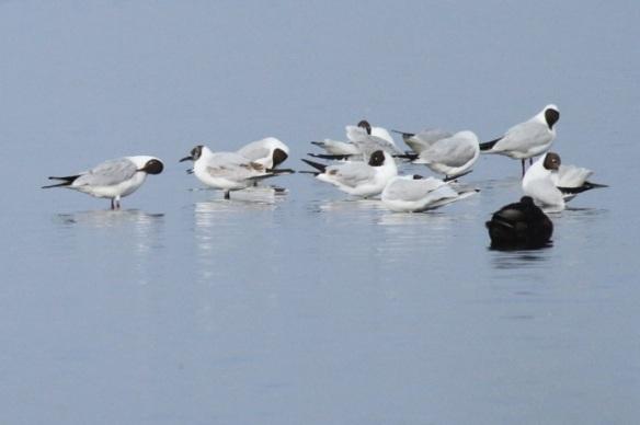 Black-headed gulls and tufted duck, Groene Jonker, 1 June 2014