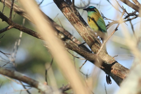 Blue-crowned motmot, 29 March 2014