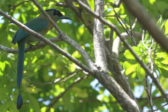 Blue-crowned motmot in bush, 29 March 2014