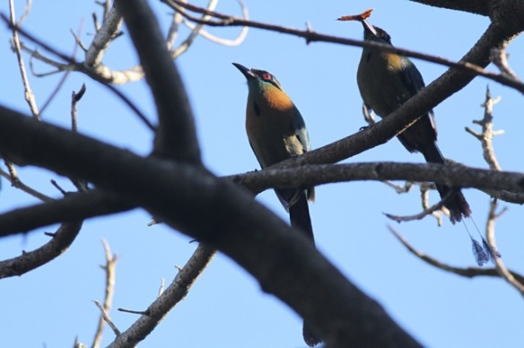 Blue-crowned motmots, 29 March 2014