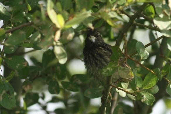 Bluethroat chick, 1 June 2014