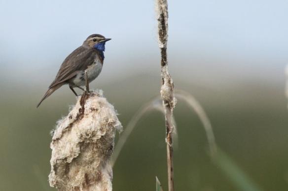 Bluethroat male, Groene Jonker, 1 June 2014