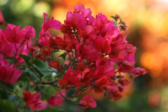 Bougainvillea flowers, 29 March 2014