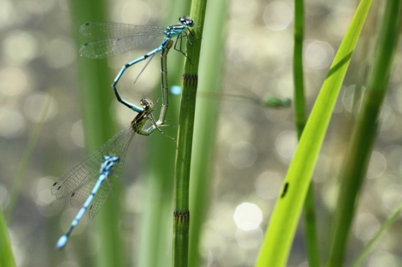 Common blue damselflies embrace, 9 June 2014