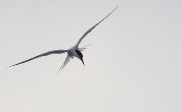 Common tern, 1 June 2014