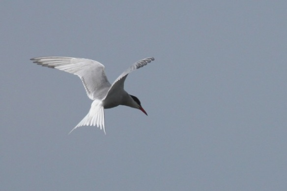 Common tern hovering, 1 June 2014
