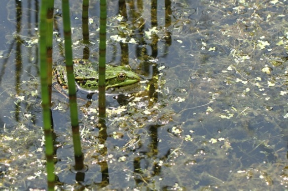 Edible frog and marsh horsetails, 9 June 2014