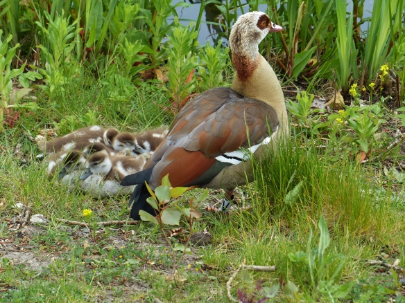 Egyptian mother goose V3, another photo, May 2014