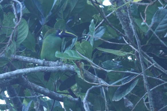 Emerald toucanet, 28 March 2014