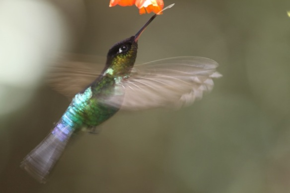 Fiery-throated hummingbird feeding, 28 March 2014
