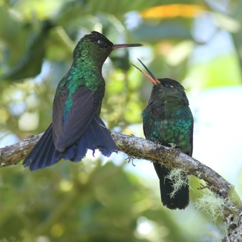 Fiery-throated hummingbirds on branch, 28 March 2014