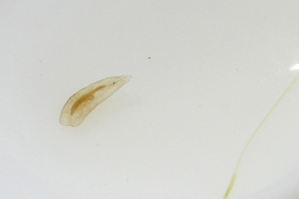 Flatworm on egg spoon, 31 May 2014