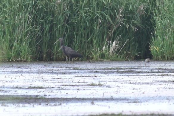 Glossy ibis and redshank, 1 June 2014