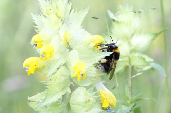 Greater yellow-rattle and large earth bumblebee, 31 May 2014