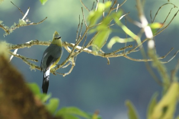 Long-tailed silky flycatcher, 28 March 2014