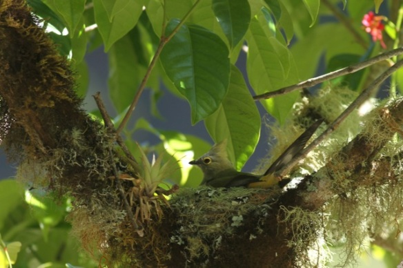 Long-tailed silky flycatcher on nest, 28 March 2014