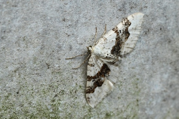 Moth on flower-pot, 8 June 2014