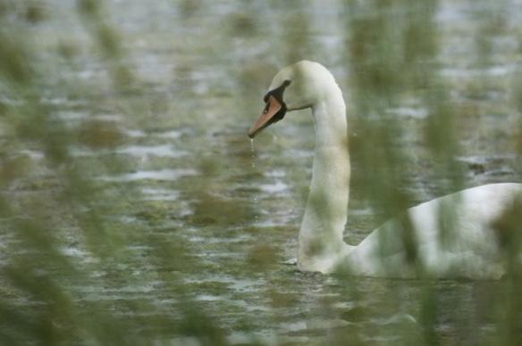 Mute swan, 1 June 2014