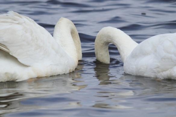 Mute swans, 1 June 2014