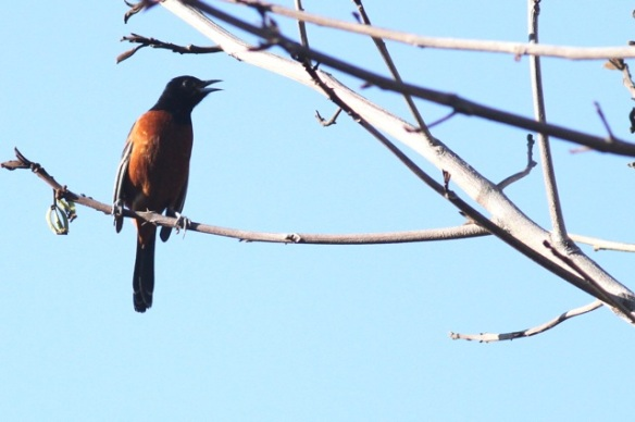 Orchard oriole, male, 29 March 2014