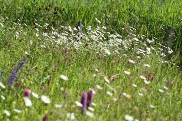 Oxeye daisies and other flowers, 9 June 2014