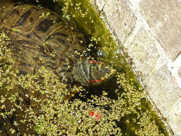Red-eared slider turtle, June 2014