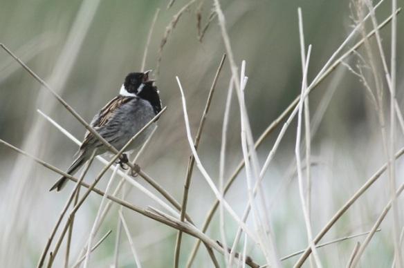 Reed bunting male sings, 1 June 2014