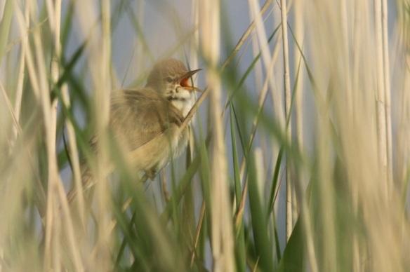 Reed warbler singing, Groene Jonker, 1 June 2014